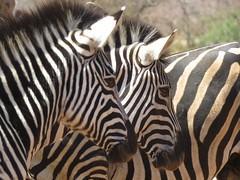 Zebra (Pixi2011) Tags: zebra wildlife krugernationalpark southafrica africa wildlifeafrica wildanimals animals nature coth coth5