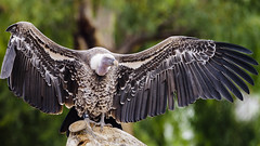 Look at me!!! (fenicephoto) Tags: geier vulture vautour