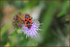 Gendarme ou Punaise de feu ( Pyrrhocoris apterus ) (Le Papa'razzi) Tags: punaisedefeu gendarme pyrrhocorisapterus insecte nikond300s nikkor300mmf4