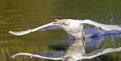 takeoff - Mute swan (Cygnus olor) - Riverside Valley Park, Exeter, Devon - Sept 2019 (Dis da fi we) Tags: mute swan cygnus olor exeter devon riverside valley park