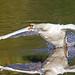 takeoff - Mute swan (Cygnus olor) - Riverside Valley Park, Exeter, Devon - Sept 2019