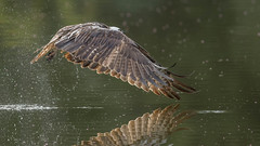 Osprey  0435 (Paul McGoveran) Tags: bif bird nature wings osprey birdinflight hendrievalley nikond500 nikon500mmf4 nikond850 coth5