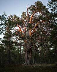 Porjustallen (Gustaf_E) Tags: forest giant jokkmokk kväll landscape landskap lappland norrland pine porjus porjusberget porjustallen skog sommar sverige sweden tall woods