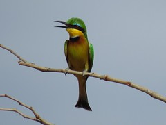Little Bee-eater / Kleinbyvreter (Pixi2011) Tags: birds krugernationalpark southafrica africa wildbirds nature coth coth5