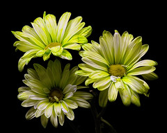 Green Daisy Trio 0901 (Tjerger) Tags: nature flower flowers bloom blooms blooming daisy daisies plant natural flora floral blackbackground portrait beautiful beauty black green wisconsin closeup white yellow three trio summer macreo