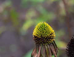 Autumn light (herman hengelo) Tags: zonnehoedje echinaceapurpurea echinaceapurpurea'alba' autumn herfst garden hengelo thenetherlands autumnlight