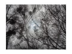 At Lake of Constance in the Morning (My digital Gallery) Tags: lakeofconstance hard austria europe eu nebel bäume trees äste branches farben reduziert reduced colours sun sonne fog misteln mistletoes gray sky himmel grau