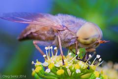Horse-fly - Atylotus rusticus (Serkiz Oleg) Tags: kingdom animalia phylum arthropoda class insecta order diptera family tabanidae genus atylotus oleg serkiz