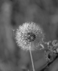 Striking out on its own - HMBT. Explore 27.9.19 (Jo Evans1 - off and on for a while) Tags: dandelion seed leaving home mono bokeh thursday hmbt