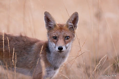 _MG_5988 Renard (Vulpes vulpes) (Vélociraptor) Tags: renard vulpesvulpes