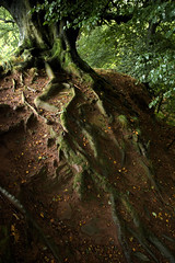 Roots (vincocamm) Tags: cumbria tree woods leaves roots soil sandstone moss green brown nikon d5500 lowlight