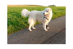 Mogli (balu51) Tags: sommer morgen morgenspaziergang hund kuvasz weiss morning goldenhour sunrise morningwalk dog happy summer green white august 2019 copyrightbybalu51