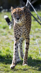 Cheetah standing in the grass (Tambako the Jaguar) Tags: cheetah big wild cat male standing posing portrait face looking grass sunny branches kindezoo zoo knie rapperswil switzerland nikon d5