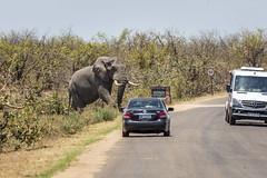 Up close and personal (Sheldrickfalls) Tags: elephant elephantbull mopani mopanicamp mopanirestcamp mopane olifant krugernationalpark kruger krugerpark limpopo southafrica h16