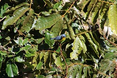 Costa Rica (joeksuey) Tags: costarica joeksuey bird goldenbrowed chlorophonia skywalk skyadventures hangingbridge 3 5 park insects trail monteverde praying preying mantis santaelena plants cloudforest green male howler monkey tree reserve tropical parula fungus cecropia beetle metallic spittlebug epiphytes
