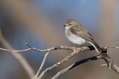 Jacky Winter (petefeats) Tags: australia birds bowrasanctuary cunamulla jackywinter microecafascinans nature passeriformes petroicidae queensland