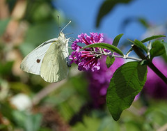 Small White butterfly (hedgehoggarden1) Tags: smallwhite butterfly lepidoptera insect creature wildlife gardenwildlife butterflies sony nature watton norfolk eastanglia uk sonycybershot verbena explored