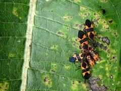 POKER NIGHT (Lisa Plymell) Tags: lisaplymell nikon insect bugs coolpixp900