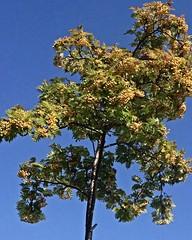 Fruit-laden (BrooksieC) Tags: tree fruit berries