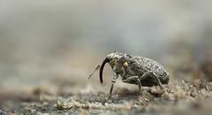 Curculionidae (Benjamin Fabian) Tags: curculionidae rüsselkäfer weevil rüssel käfer coleoptera cute arthropod arthropoda hexapod hexapoda insect insecta macro close up sony a6000 sel90 raynox stack