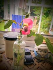 Rose buds, & Lavender. 😎 (daveandlyn1) Tags: flowers buds rosebuds lavender bottlevase closeup macro dof depthoffield pralx1 p8lite2017 huaweip8 smartphone psdigitalcamera cameraphone