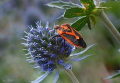Orange on Blue (Lani Elliott) Tags: homegarden garden flower bug stinkbug insect orange patterned textured macro upclose closeup bokeh macrounlimited nature naturephotography