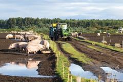 Free Range Pig Farming (Geoff France) Tags: pig pigfarm farm porker agriculture