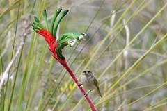Brown Honeyeater (philk_56) Tags: western australia perth wireless hill park reserve bird brown honeyeater kangaroo paw flower plant