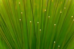 Grass (philk_56) Tags: western australia perth wireless hill park reserve plant grass