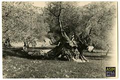 Olivera (Arxiu del So i de la Imatge de Mallorca) Tags: mallorca majorca oliveres olivos olivetrees