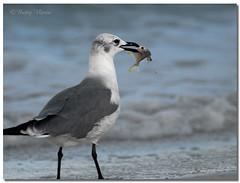 Black-billed gull (Betty Vlasiu) Tags: blackbilled gull chroicocephalus bulleri bird nature wildlife chincoteague island virginia