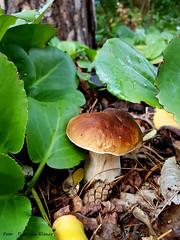 Steinpilze in meinem Vorgarten (Patricia Buddelflink) Tags: steinpilze autumn herbst garden garten nature