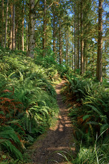 Ferns and trees along the hiking trail to Cape Alava, Olympic National Park, Washington State (diana_robinson) Tags: fern tree trail pineforest hikingtrail capealava capealavabeach olympicnationalpark washingtonstate pacificcoast pacificocean pacificnorthwest beach evergreentrees forest
