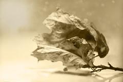 A single leaf (Elisafox22) Tags: elisafox22 sony nex6 helios442 helios 258 8blade vintagelens monochromethursday hmt monochromebokehthursday hmbt monochrome sepia leaf dried dead postprocessing photoshop bokeh indoors elisaliddell©2019 hattori ransatsu haiku japanese poem sepiaimpressions