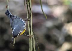 Searching (ACEZandEIGHTZ) Tags: yellowthroatedwarbler nikond3200 songbird avian bokeh closeup macro bird feathers winged wings backyard birdwatcher miami florida orchidroots setophagadominica