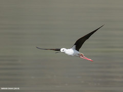 Black-winged Stilt (Himantopus himantopus) (gilgit2) Tags: avifauna birds blackwingedstilthimantopushimantopus borit canon canoneos7dmarkii category fauna feathers geotagged gilgitbaltistan gojal imranshah location nature ornithology pakistan species tags tamron tamronsp150600mmf563divcusd wildlife wings gilgit2 himantopushimantopus