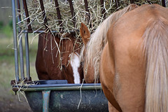 Dining Together (MTSOfan) Tags: horses trough eating dining lvz