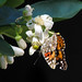Painted lady in lemon blossoms