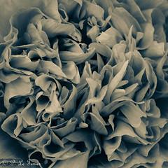 La nuit toutes les fleurs sont grises. 07 (letexierpatrick) Tags: fleurs nature flower fleur flowers floraison noir noirblanc noiretblanc blanc black blackandwhite bw white botanique coeurdefleurs jardin nikond7000 nikon france europe extérieur explore