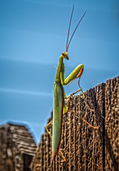Climbing The Wall (http://fineartamerica.com/profiles/robert-bales.ht) Tags: animals emmett forupload haybales idaho people photo places prayingmantis states insect mantidae predatory camouflage stickinsectsgreen grasshopper mantis triangularheads compoundeyes brown mantisreligiosa animal predator bug praying wildlife antenna arthropod invertebrate nature wild macro green claws species carnivore bugexterminator entomology vignette colorful insectphotography carnivorous cannibalistic abdomen thorax winginsect flyinginsect pet simpleeyes wall climbling