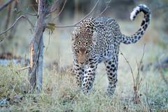 Shy Girl (Glatz Nature Photography) Tags: africa animal botswana glatznaturephotography khwaicamp nature nikond850 wildanimal wildlife leopard leopardcub bigcats pantherapardus eyecontact okavangodelta