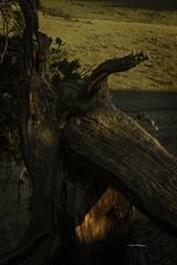Just a stump (wfgphoto) Tags: stump wood tree light shadow