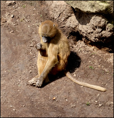 On the 'naughty step'  ! (Country Girl 76) Tags: baboon young disgrace lonely sad animal wildlife park doncaster yorkshire naughty step