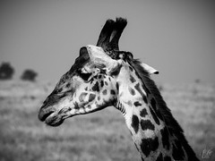 SERENGETI GIRAFFE (eliewolfphotography) Tags: giraffe giraffes blackandwhite bnw animals africa african safari serengeti serengetinationalpark tanzania travel conservation conservationphotography