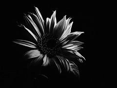 Sunflower (graemes83) Tags: flash flower sunflower petals nature blackandwhite minimal dark monochrome