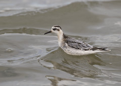 Red (Grey) Phalarope (phalaropus fulicarius) (Steve Ashton Wildlife Images) Tags: grey red phalarope phalaropus fulicarius wader wading bird greyphalarope redphalarope phalaropusfulicarius wadingbird