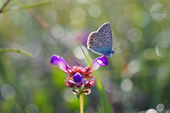 One million dew drops... (ej - light spectrum) Tags: butterfly schmetterling papillon farfalla macro macrophotography olympus em5markii mzuiko naturephotography switzerland schweiz