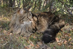 elvis i skogen... (KvikneFoto) Tags: nikon1j2 katt cat elvis