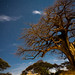 Baobab tree lit by moonlight