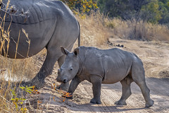 Following mom (tmeallen) Tags: whiterhino ceratotheriumsimum mother calf calffollowingmom 3monthold threatenedspecies safari travel wildlife dirtroad earlymorning driedgrasses mabulaprivategamereserve limpopo southafrica
